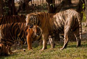 Benghal Tigers by NawalAckermann