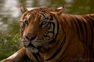 Benghal Tiger II by NawalAckermann