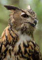 Eurasian Eagle Owl III by Nushaa