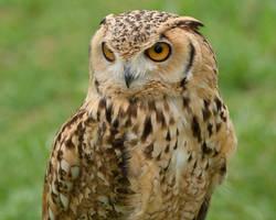 Pharaoh Eagle Owl II by Nushaa