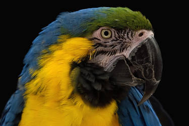 Blue and Gold Macaw by Nushaa