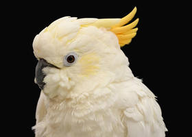 Yellow-crested Cockatoo by Nushaa