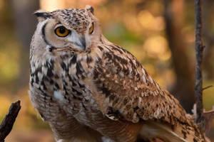Pharaoh Eagle Owl III by Nushaa