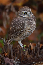 Burrowing Owl V by Nushaa