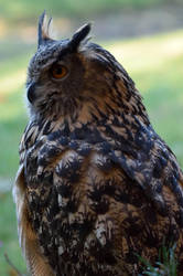 Eurasian Eagle Owl V by Nushaa