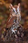 Eastern Screech Owl VI by Nushaa