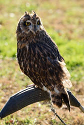 Short-eared Owl by Nushaa