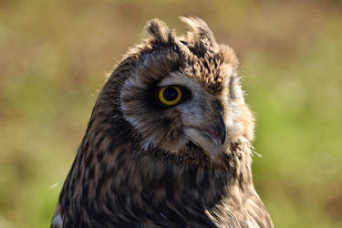 Short-eared Owl II by Nushaa