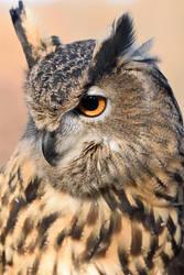 Eurasian Eagle Owl VI by Nushaa