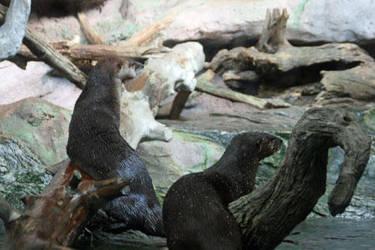 Otters-nc-aqu by ncgirl