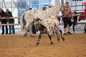 Noriker Foal_14 by CalyHoney