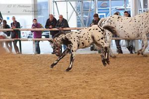 Noriker Foal_15 by CalyHoney