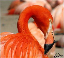 Red flamingo by woxys