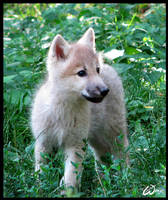Fluffy baby wolf cub by woxys