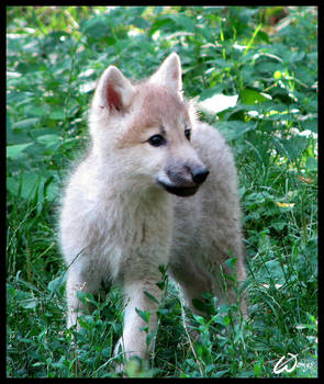 Fluffy baby wolf cub by woxys