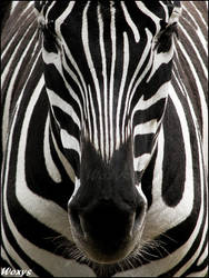 Zebra: perfect symmetry by woxys