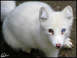 A blue-eyed arctic fox? by woxys