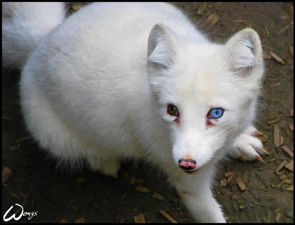I am blue, pada dyda dam... by woxys