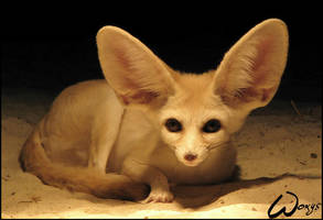 Fennec fox is listening to me by woxys