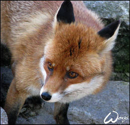 Red fox is thoughtful by woxys