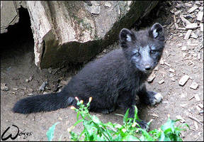 Black baby arctic fox by woxys