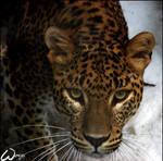 Sri Lanka leopard - the ghost by woxys