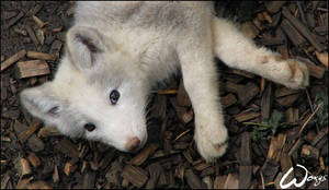 White arctic fox pup by woxys
