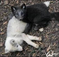 Baby arctic fox: murder? by woxys