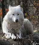 Arctic wolf: I am hidden by woxys
