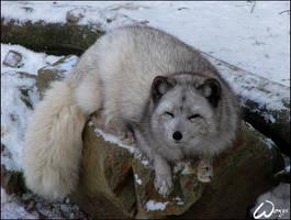 Arctic fox wants to sleep by woxys