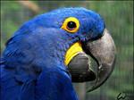 Hyacinth Macaw: fan of ODS? by woxys