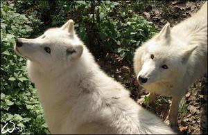 Arctic wolves: curiosity by woxys