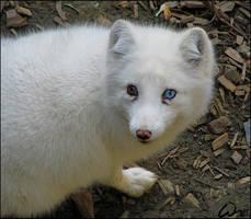 Arctic fox: behind blue eye by woxys