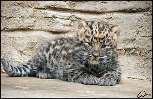 The rarest - baby Amur leopard by woxys