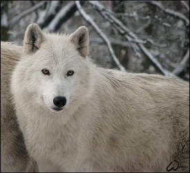 White wolf - cute face by woxys