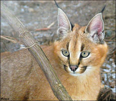 Baby caracal by woxys