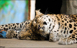 Baby Amur leopard-mom loves me by woxys