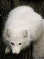 Baby polar bear????? by woxys