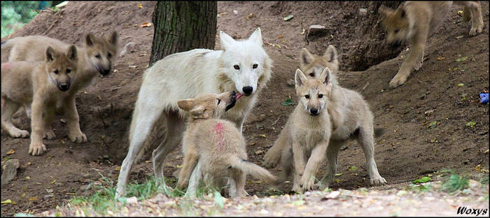 No dead wolf pups this year... by woxys