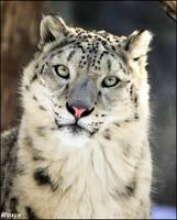 White cheetah by woxys