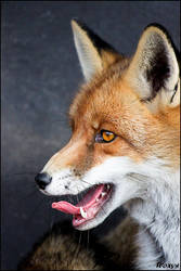 Fox in profi photo studio by woxys