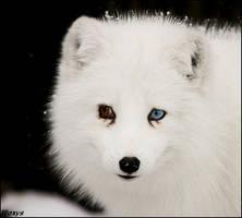 Blue-eyed fox again by woxys