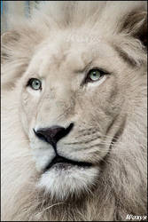 Haldir, the white lion. by woxys