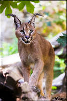 Caracal ZONE by woxys