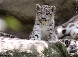 Meow. Baby snow leopard by woxys