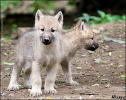 Oh no, wolf pup with two heads? by woxys