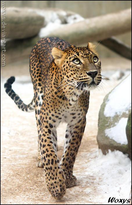 Cat walk by woxys