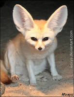 BEWARE of a pissed fennec fox!!!!!!! by woxys
