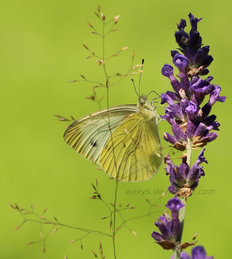 129 Motyl by woxys
