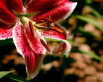Lily Dew Wallpaper by KWilliamsPhoto